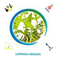 Easy Grow Ludwigia Arcuata AQF
