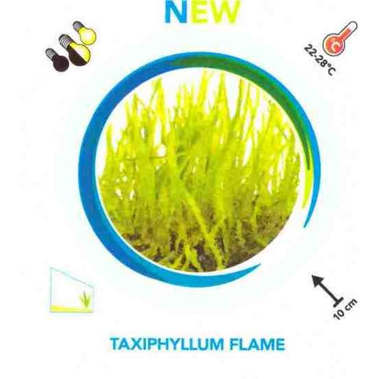Easy Grow Taxiphyllum flame AQF